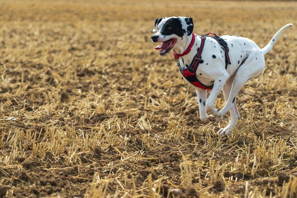 Viele Hunde lieben es, über offene Felder und Wege zu flitzen.