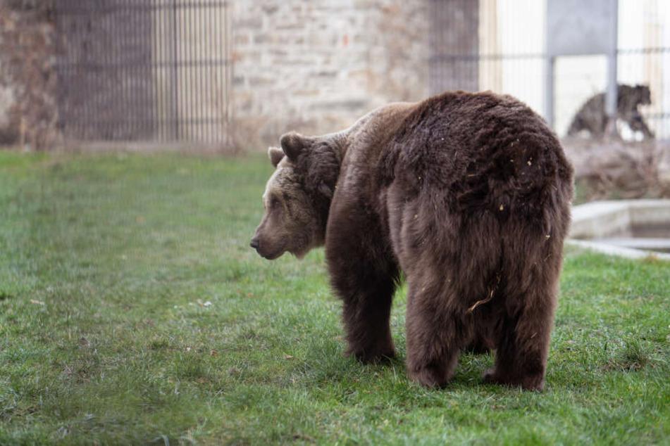 Mach's gut, bis nächstes Jahr! Die Torgauer Bären ziehen sich zum Winterschlaf zurück.