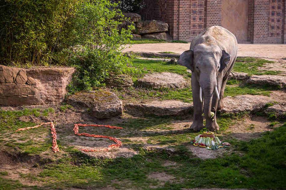 """Genüsslich verspeiste der Elefant seinen """"Geburtstagskuchen"""". Daneben hatten Pfleger eine """"15"""" aus Möhren gelegt."""