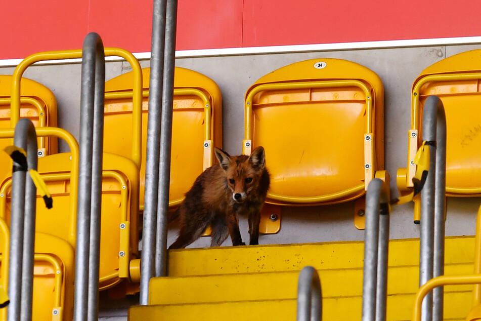 Der Fuchs hielt auch mal kurz inne und checkte die Lage.