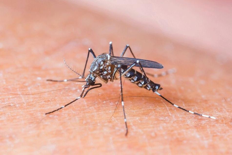 Die Gelbfiebermücke lebt in Asien, Afrika und Südamerika. Sie überträgt den gefährlichen Zika-Virus.