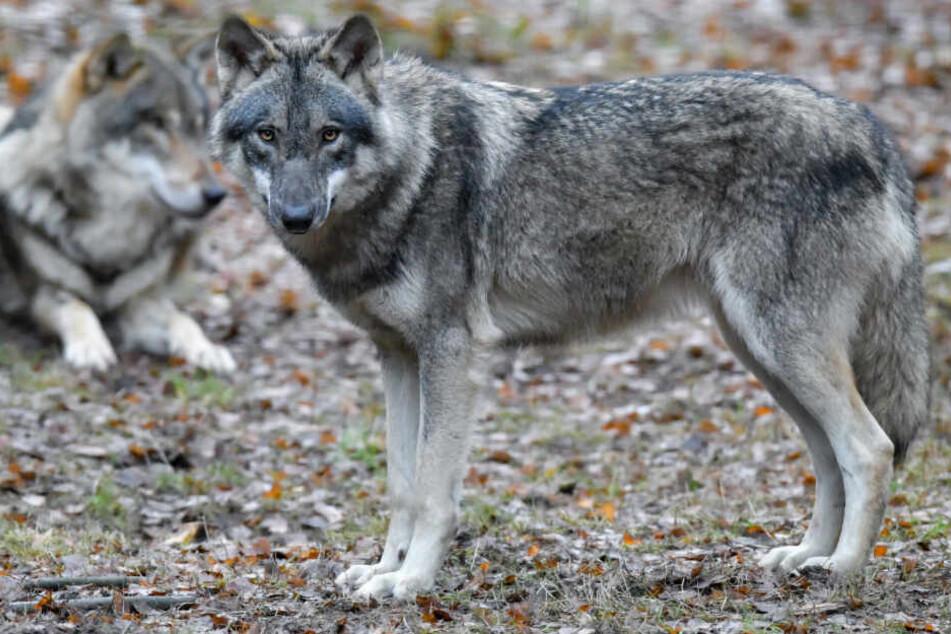 Wolfssichtungen in freier Wildbahn sind in der Bundesrepublik längst nichts Ungewöhnliches mehr (Symbolbild).