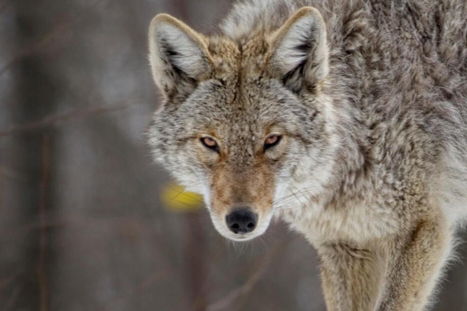 Vater tötet Kojoten mit bloßen Händen, als der sein kleines Kind (2) angreift