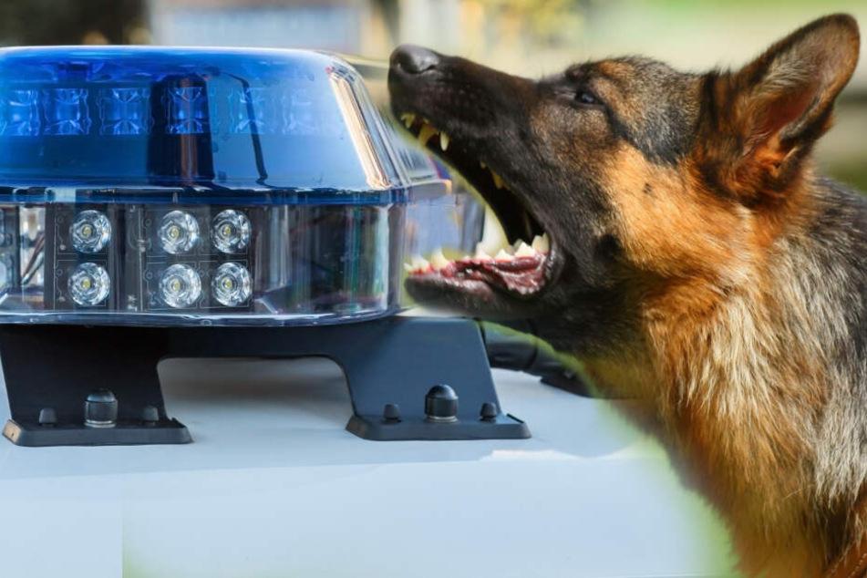 Polizeihund beendet wilde Verfolgungsjagd in Köln
