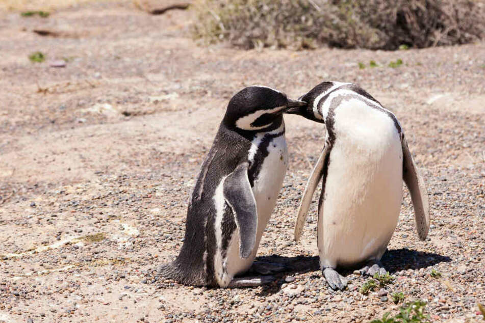 Zwei sich küssende Pinguine (Symbolbild).