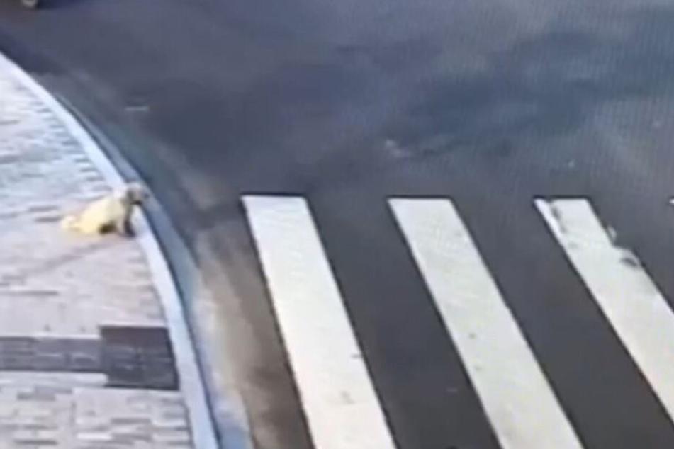 Ein kleiner Hund wartete am Zebrastreifen brav den Verkehr ab.