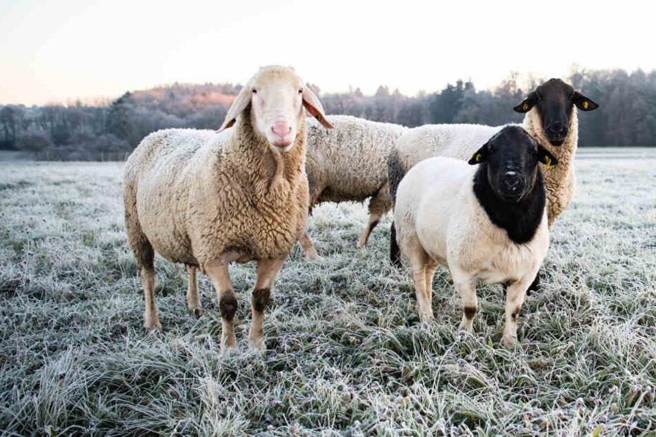 Das Schaf stand auf einer Weide, wurde von den Hunden angegriffen. (Symbolbild)