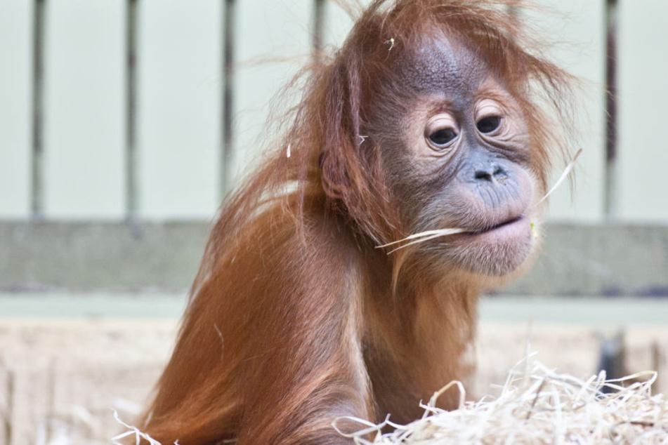 Ein Affen-Kind spielt im Dresdner Zoo. Bei 18 Millionen ist auch ein neues Affenhaus im Dresdner Zoo drin. (Archivbild)