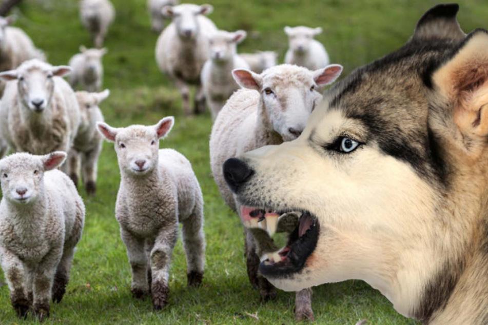 Seit vergangenem Samstag soll der Husky-Schäferhund-Mix bereits sein Unwesen treiben (Symbolbild).