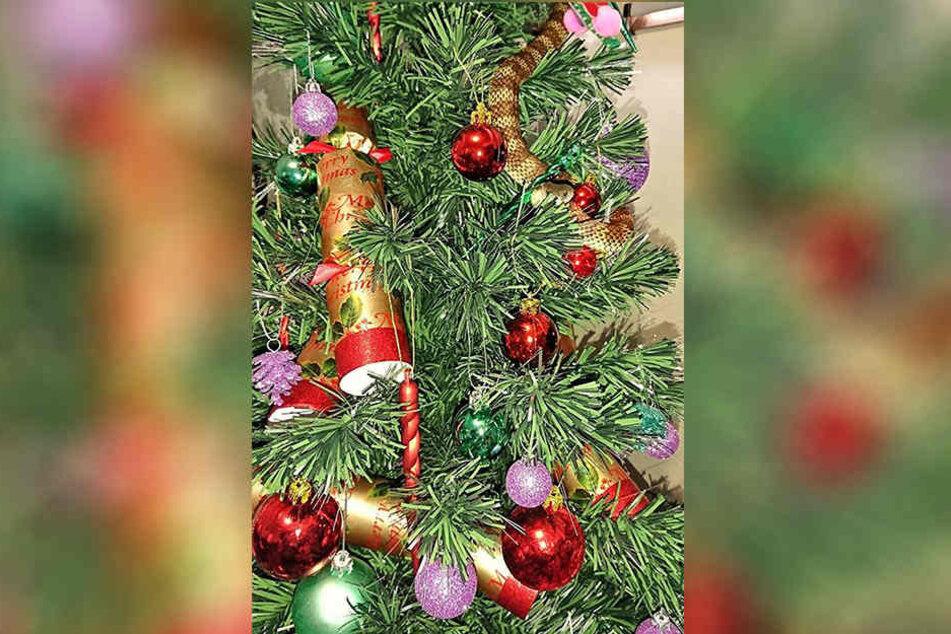 In Australien hat eine Frau neben ihrem Weihnachtsschmuck eine hochgiftige Schlange entdeckt.