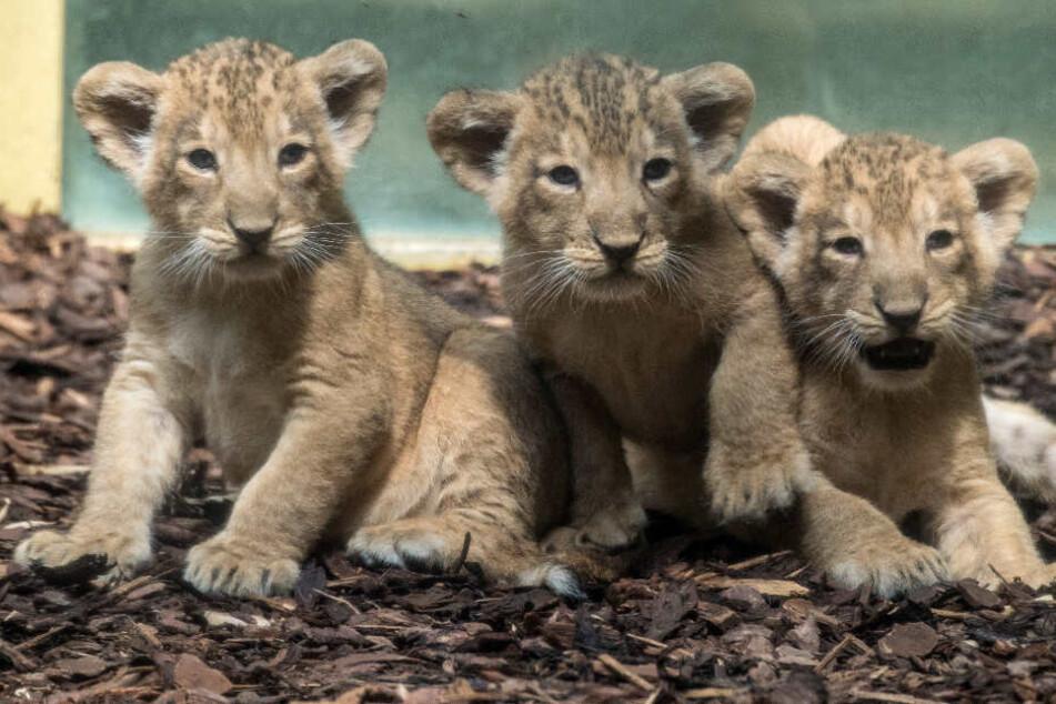 Große Trauer im Frankfurter Zoo: Drillings-Löwe musste eingeschläfert werden