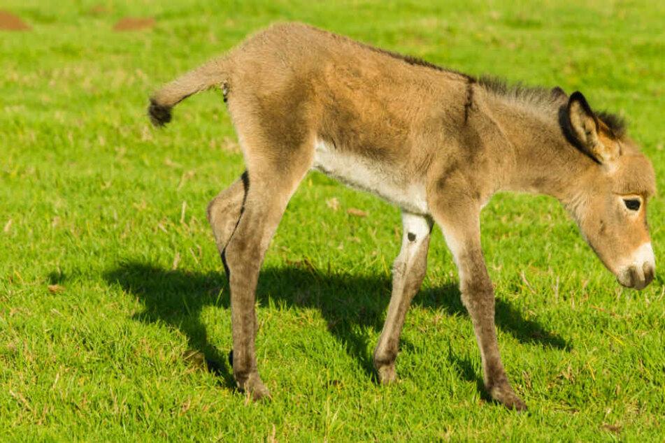 Gefangen im Elektrozaun: Fahrradfahrer rettet neugeborenen Esel