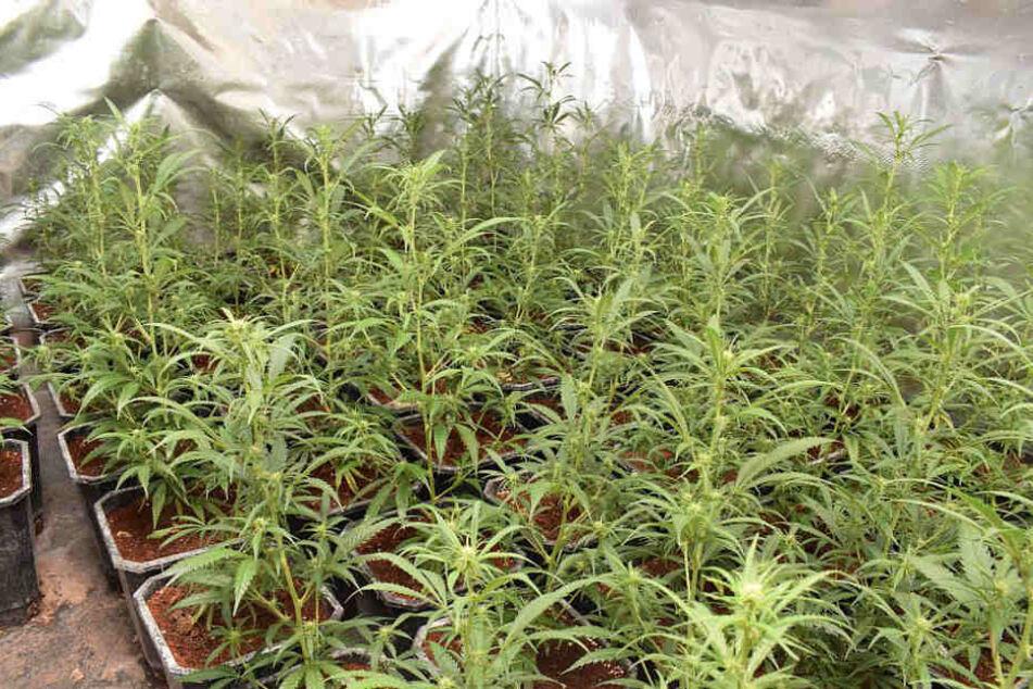 Riesenfund: Zwei Marihuana-Plantagen mit über 650 Pflanzen entdeckt