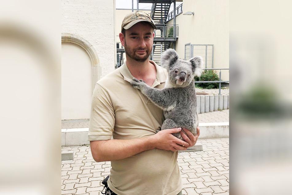 Tierpfleger Philipp Hünemeyer bringt Koala-Weibchen Mandie (3) ins neue Gehege.