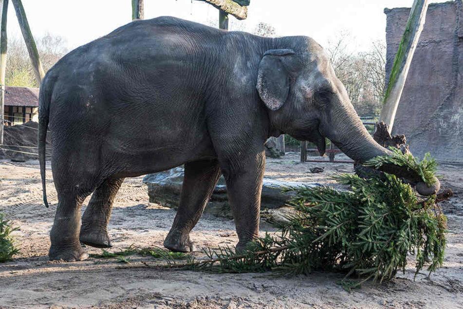 Die Elefanten im Münsteraner Allwetterzoo freuen sich über die Weihnachtsbaum-Überraschung.