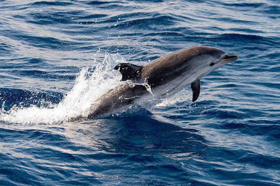 Die Fachleute rätseln, ob bei der Übung eingesetztes Sonar für den Tod der Delfine verantwortlich sein könnte.