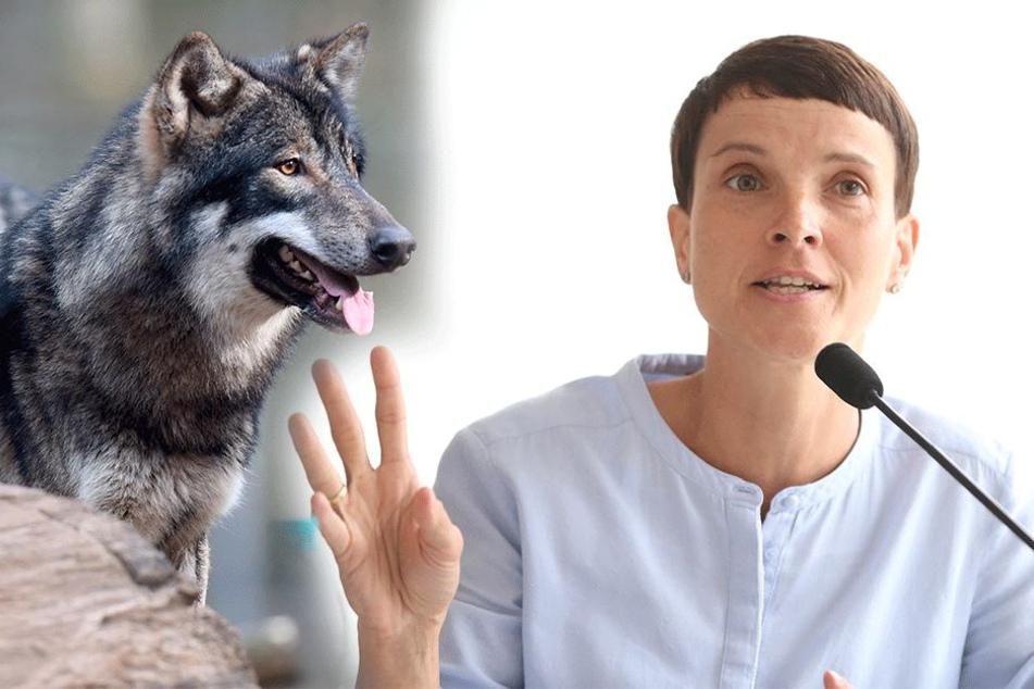 Petry macht sich für reine Rasse stark: Wann ist der Wolf ein Wolf?