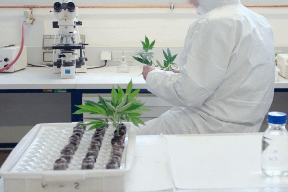 In der Medizin ist die Wirkung von Marihuana weitgehend anerkannt und wird bei vielen Patienten genutzt. Die Alltagswirkung soll nun ermittelt werden.