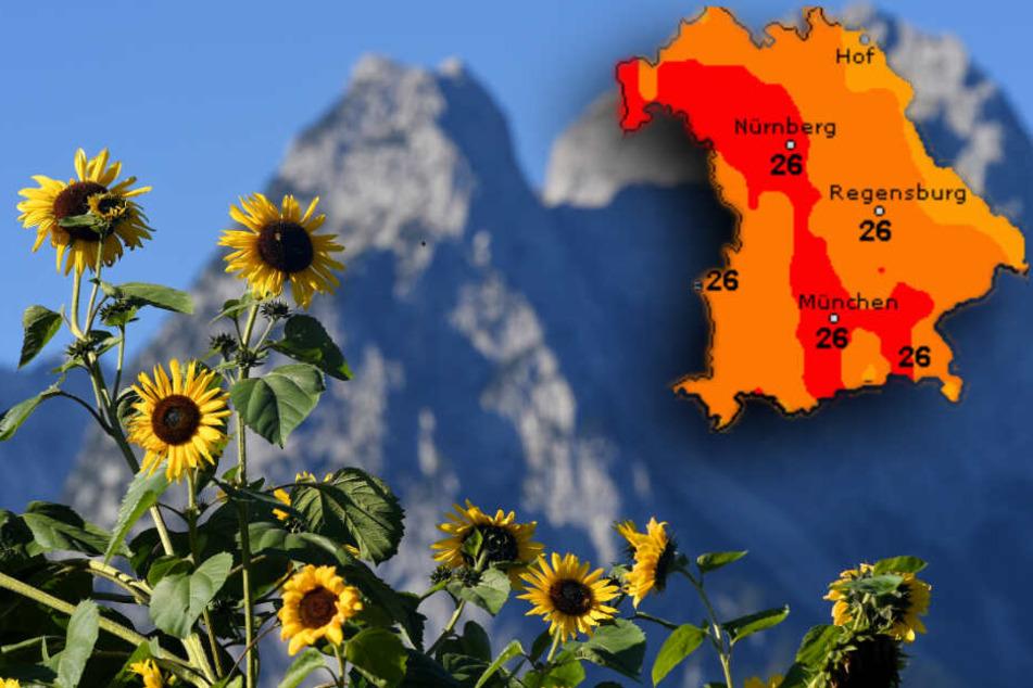 Sonnenblumen wachsen vor den Gipfel des Wettersteingebirges. Am Wochenende darf man schien Bayern nochmal über spätsommerliches Wetter freuen.