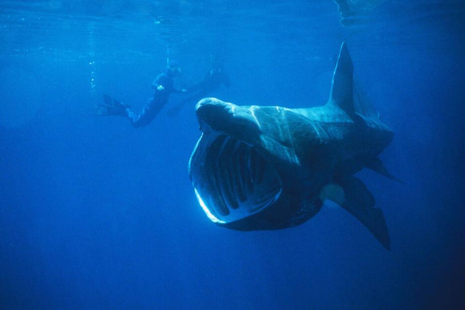 Riesenhaie werden bis zu neun Meter lang (Symbolbild).