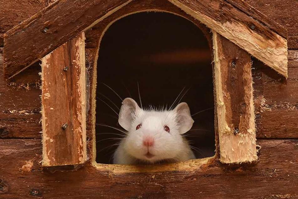Süß: Albino-Mäuschen Romy.