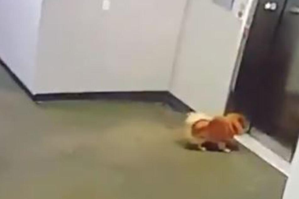 Todeskampf: Hund bleibt mit Leine in Fahrstuhl hängen