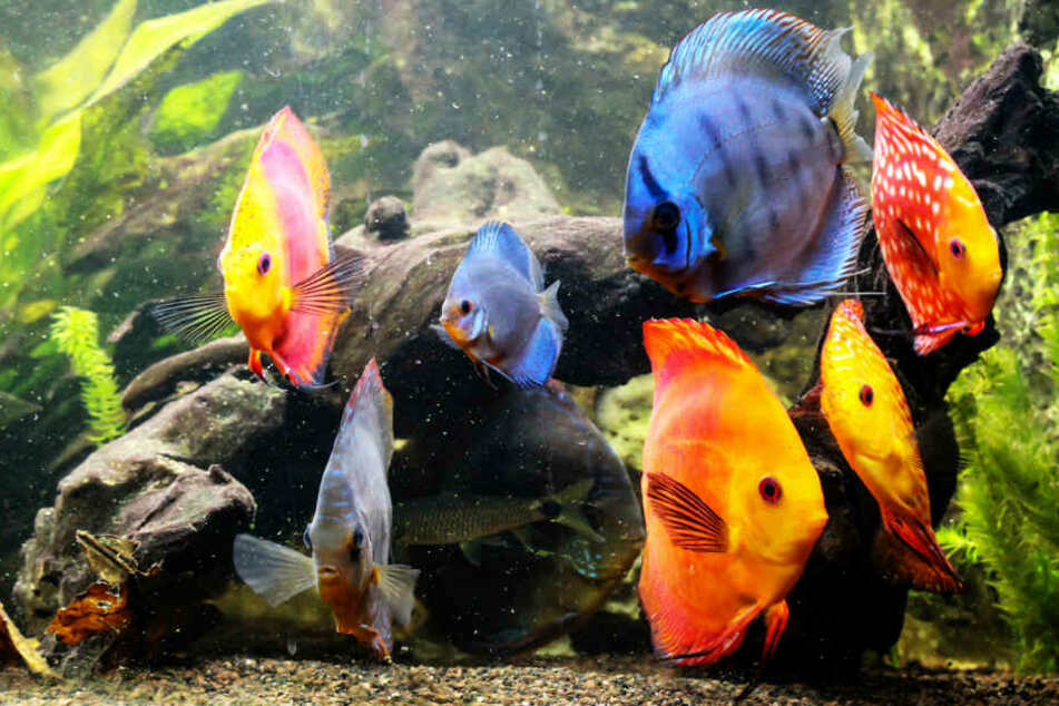 Orangene und blaue Buntbarsche schwimmen in einem Aquarium (Symbolbild).