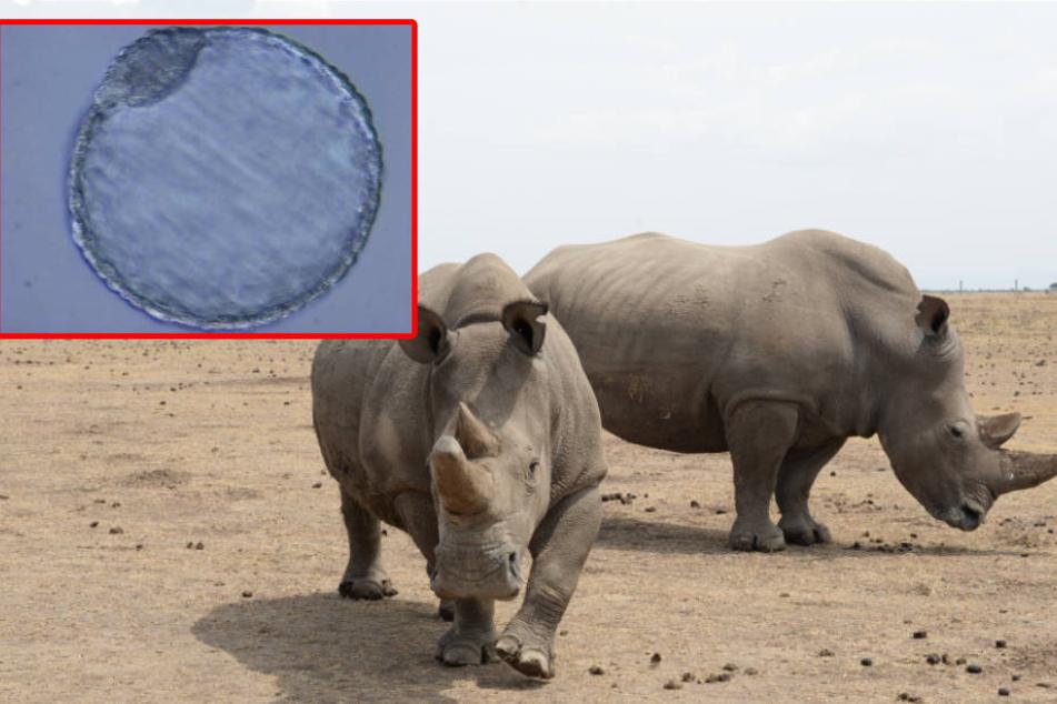 Forschern ist es gelungen, im Labor Nashorn-Embryos zu erzeugen.