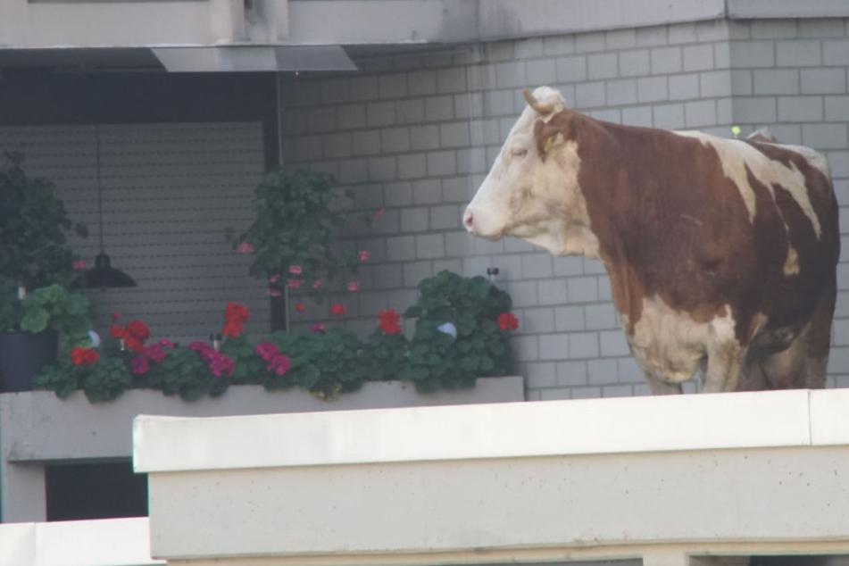 Nanu? Wie kommt diese Kuh aufs Garagendach?!