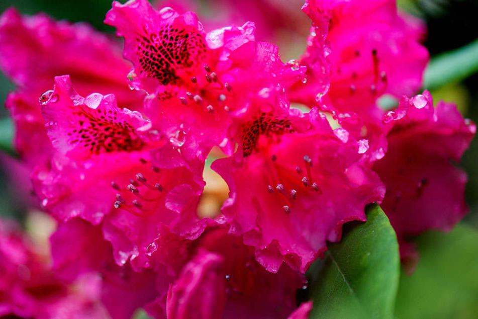 Vielleicht auch was für Mutti? Wunderbare Blütenpracht gibt es am ganzen Wochenende in Markkleeberg zu bestaunen.