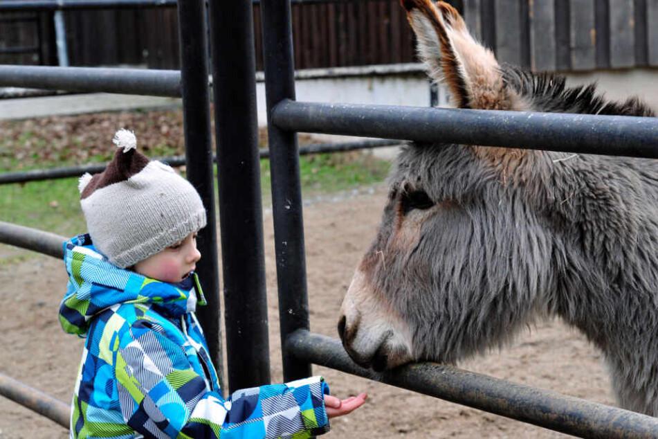 Beim Füttern von Eseln ist besondere Vorsicht geboten. Einem Kleinkind biss so ein Tier im Herbst ein Fingerglied ab.