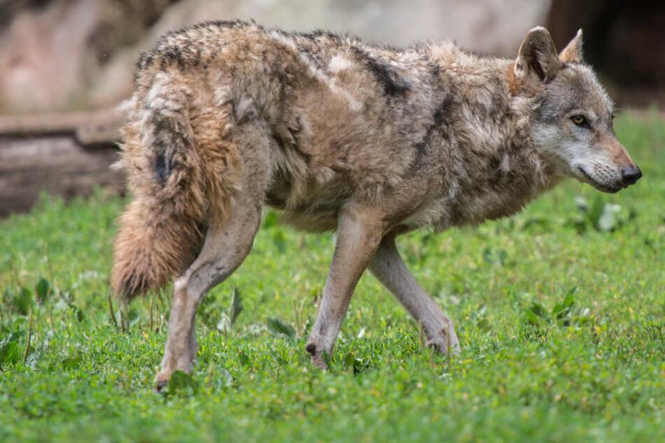Bundesweit gibt es derzeit 750 Wölfe. (Symbolbild)
