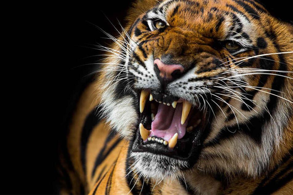 Der Tiger verwundete die Frau tödlich.