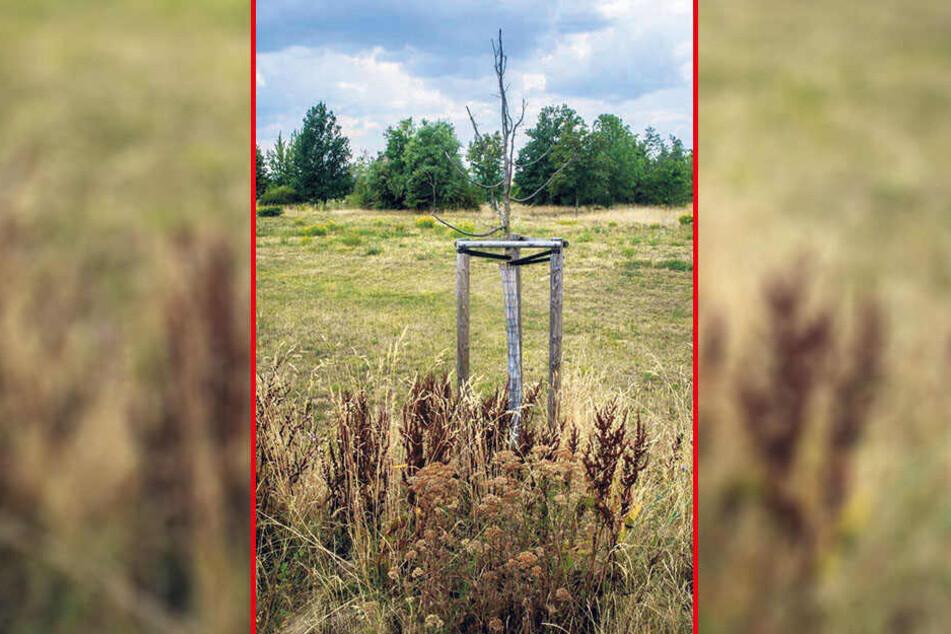 Vor allem Jungbäume in Zwickau benötigen dringend Wasser.