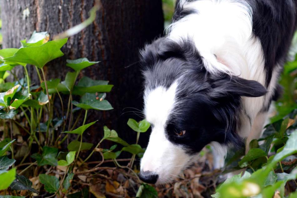 Schnell ist ein ausgelegter Giftköder im Maul eines Hundes gelandet. (Symbolfoto)