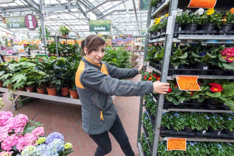 Noch soooo viele da: Hornbach-Azubine Nancy Braf (19) schiebt Frühblüher durch den Markt in der Stollberger Straße.