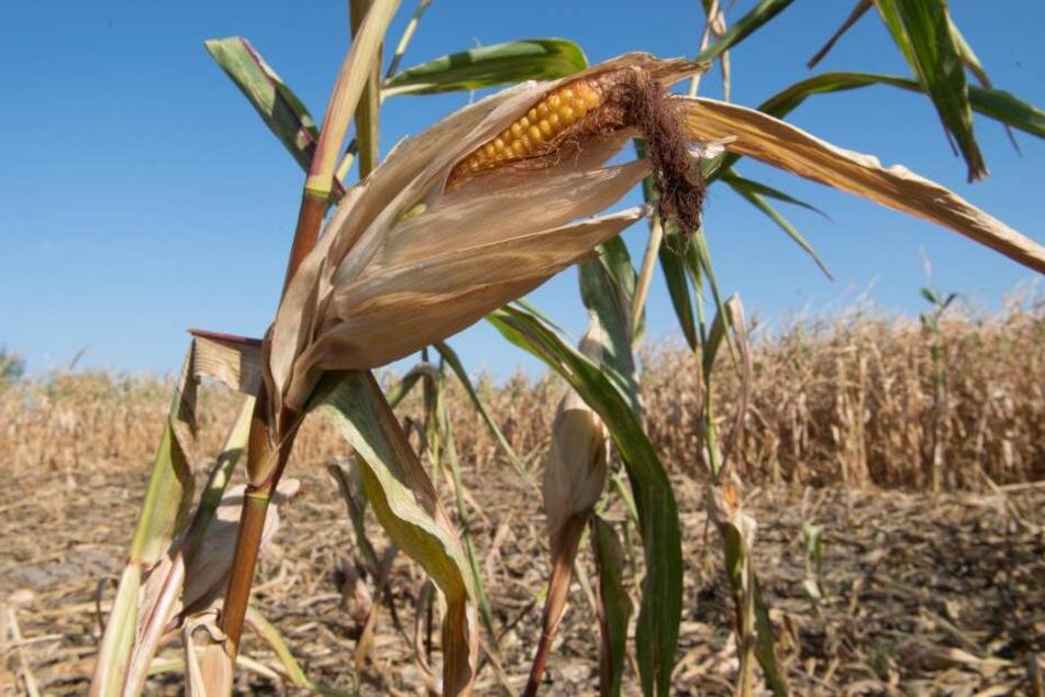 Die Ackerbauern mussten im letzten Jahr erhebliche Ernteeinbußen verzeichnen. (Symbolbild)