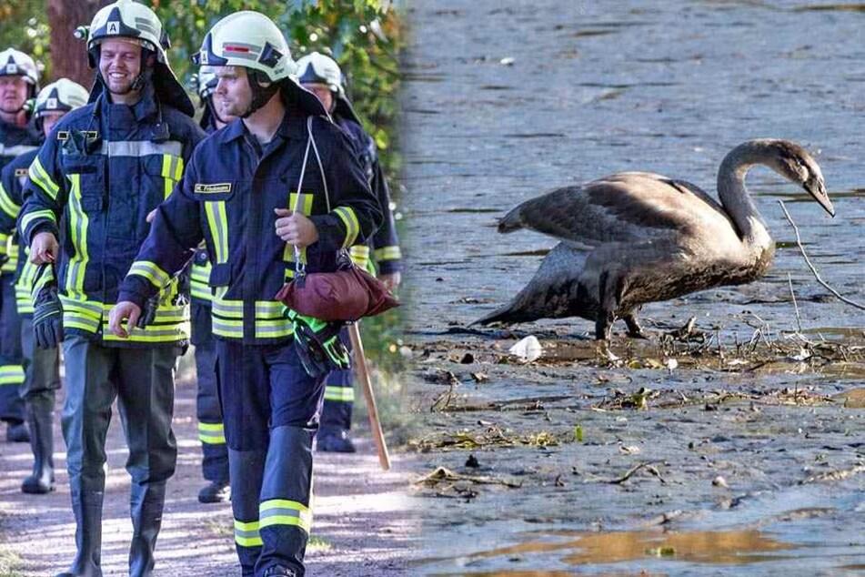 Feuerwehr will Schwanenfamilie retten, doch damit haben sie nicht gerechnet