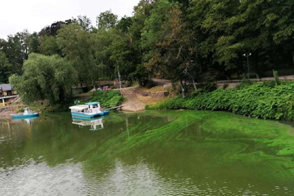 Das Wasser ist durchsetzt von grünen Fäden.