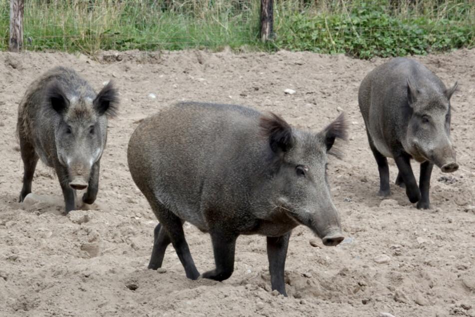 Schweinepest in diesem Land ausgebrochen: Hunderttausende Tiere müssen getötet werden