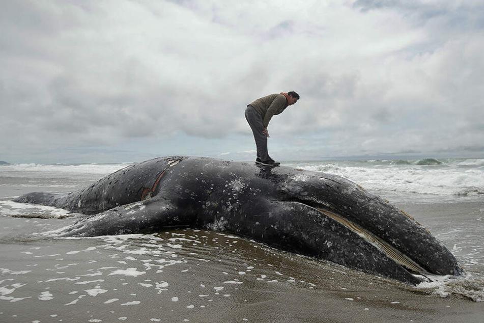 Ein Mann steht auf dem angeschwemmten Kadaver eines Grauwals am Ocean Beach.