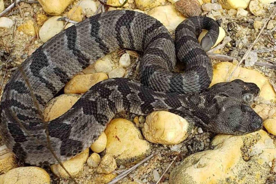 Sensationsfund: Schlange mit zwei eigenständig handelnden Köpfen entdeckt