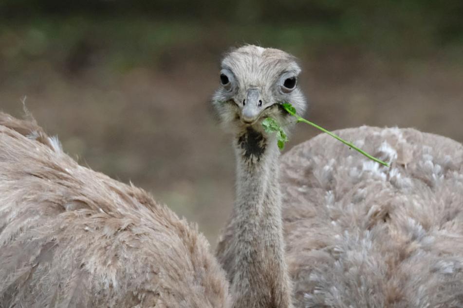 Nandus gehören zu den Laufvögeln und kommen eigentlich aus Südamerika. (Symbolbild)