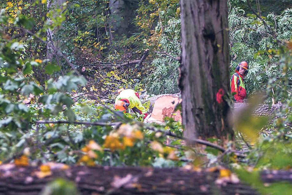 Arbeiter fällen im Leipziger Auwald derzeit zahlreiche Eschen, an denen Triebsterben festgestellt wurde.