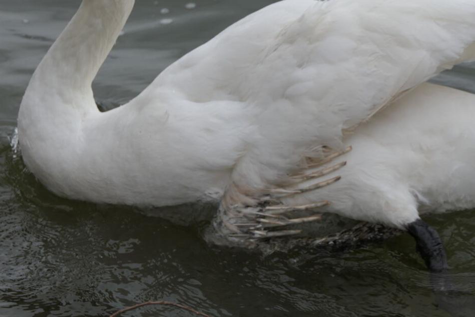 Der linke Flügel des Tieres ist schon teilweise gerupft. Noch ist unklar, ob dem Federvieh geholfen werden kann.