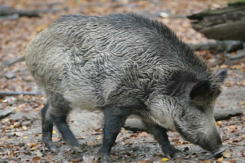 Wildschweine werden in NRW mittlerweile immer mehr zum Problem.