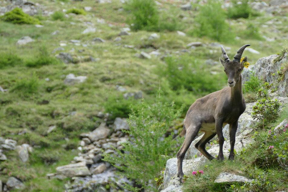 Der Tiergarten Nürnberg entlässt einige Steinböcke in die österreichischen Alpen.