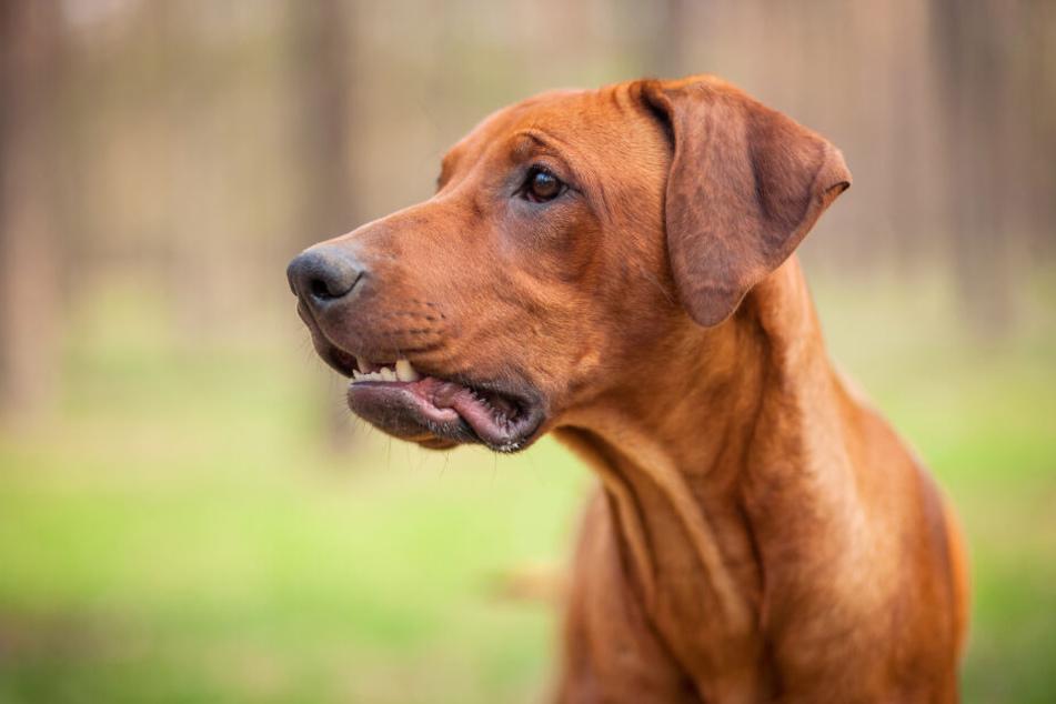 Auf Familienfeier: Hund beißt Kind (8) halbes Ohr ab!