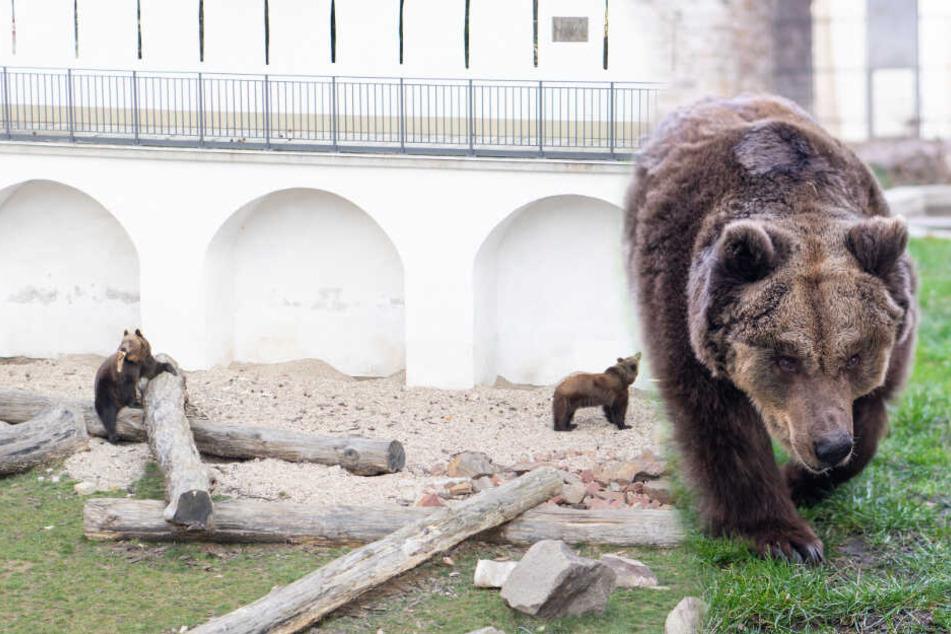 """Familie """"Petz"""" wieder """"petzmunter"""": So kamen die Bären nach Torgau"""