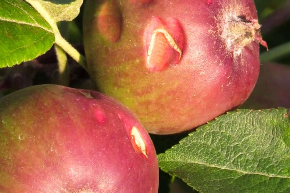 Die Hagelkörner haben viele Äpfel im Alten Land beschädigt.